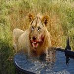 Carnivorous-animals'-leftover-water.jpg