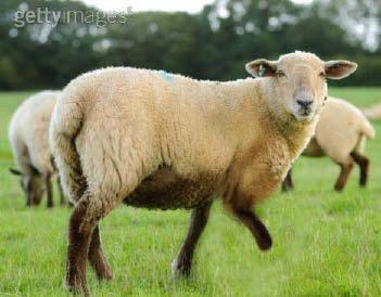 05_10_005-A limping sheep.jpg