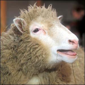 05_10_007-A hornless sheep.jpg