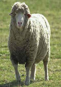 05_09_006-Sheep.gif