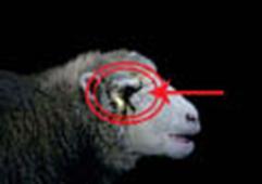 05_10_004-A one-eyed-sheep.jpg
