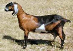 05_10_008-A-tailless-goat.jpg
