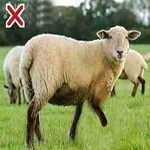 A limping sheep