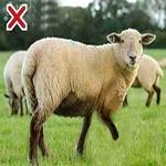 A limping sheep