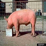 Leftover water from a pig