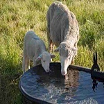 Leftover water of animals whose consumption is permissible