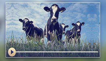 牲畜的天课